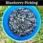 Blueberry Picking with Kids