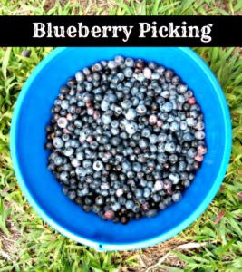 Blueberry picking is a perfect summer time adventure for families and food lovers. Fresh, ripe berries are amazing orbs of yummy deliciousness. There is just nothing like a fresh blueberry cobbler or fresh berries over ice cream. Don't you agree?