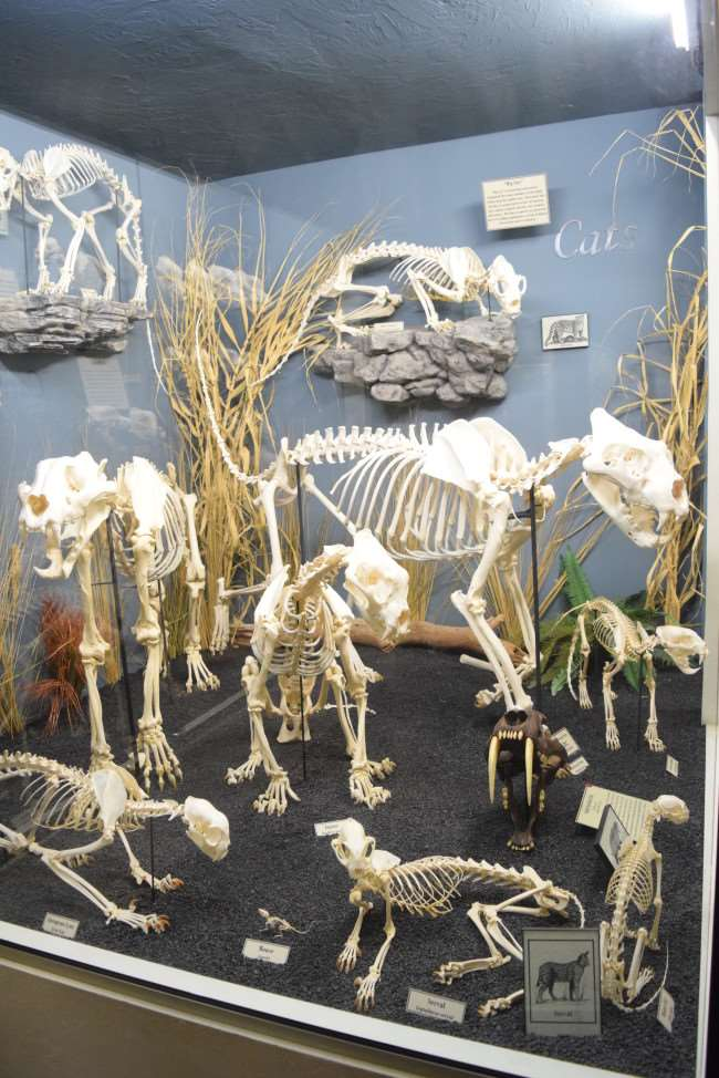 Museum of Osteology - Cats Display