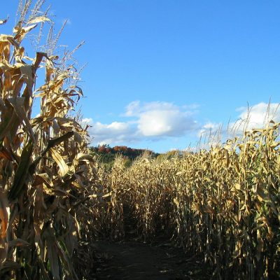 6 Tips for Tackling the Corn Maze with Kids