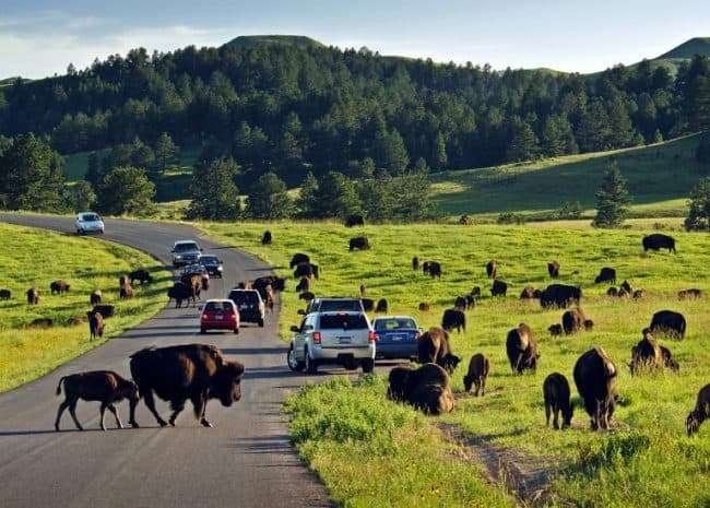Custer State Park Wildlife Loop, Bison, Top Travel Destination for Wildlife Viewing