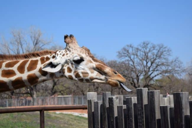 Giraffe Feeding -