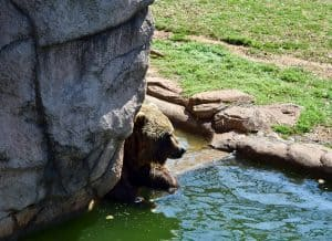 Grizzly Bears at the Oklahoma Trails - 5 Things Not to Miss at the Oklahoma City Zoo - Here are few fun kid-friendly activities the family will love