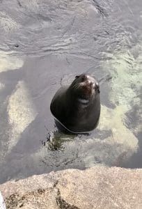 California Sea Lions can be see all along the Pacific Coast. If you are in Cannery Row and Monterey, CA, here are a few places to find them. Plus find other Things To Do in Monterey CA on Cannery Row