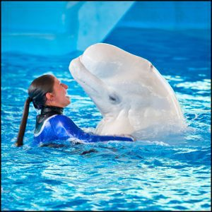 Ocean Discovery Show with Beluga Whales