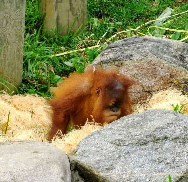 Baby Orangutan at the Como Park Zoo- Things to do in Minneapolis/St. Paul (Twin Cities) with kids