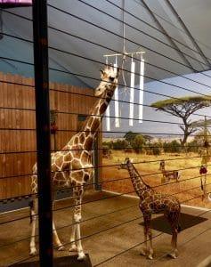 Como Park Zoo Giraffes