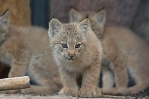 CMZoo Canada lynx kittens - Things to Do with Kids Colorado Springs - Olympic City USA