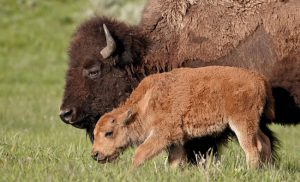 Bison and Calf - Find the Ultimate Family Travel Experiences to Give This Year (Gift Ideas)- Yellowstone and Grand Teton Family Expedition
