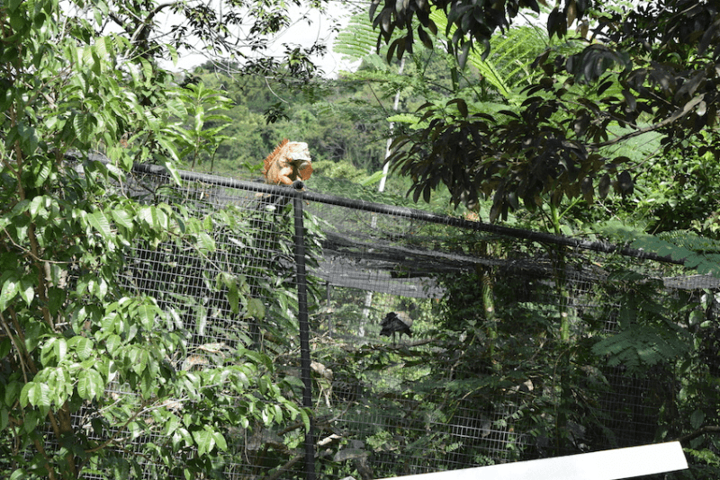 Iguana & bird - Rescate Animal ZooAve