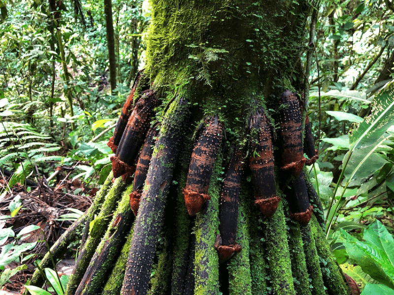 Stilt-rooted Palm trees or Penis Root Tree