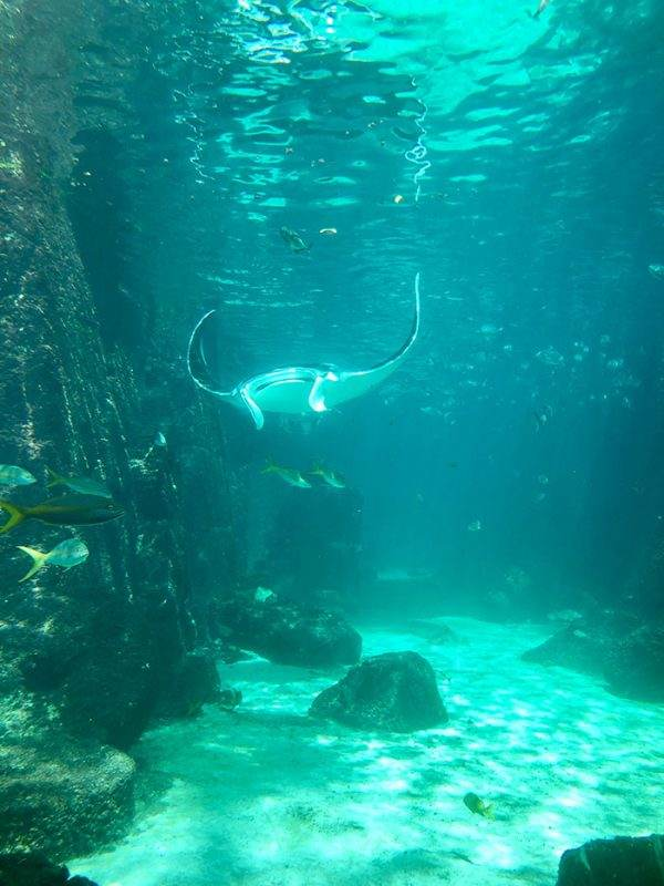 Manta Ray at Atlantis' The DIg