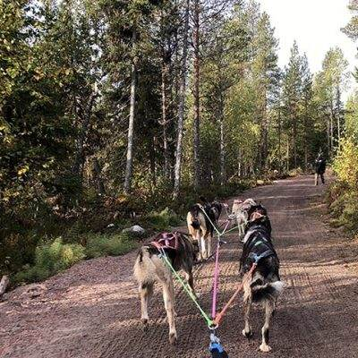 Rovaniemi Dog Sledding – Try Dog Mushing with Bearhill Husky