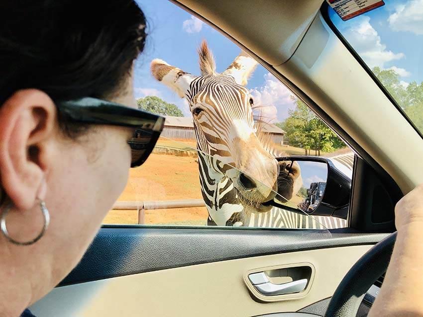 Zebra in Drive Thru Safaro Park
