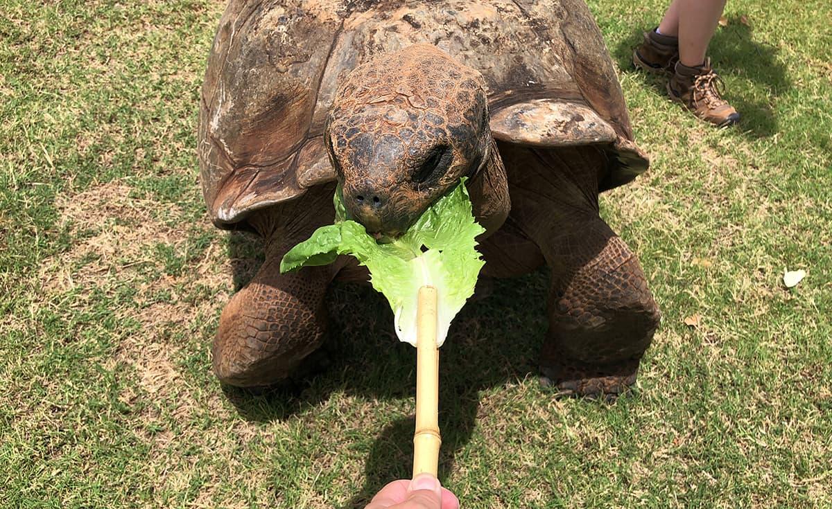 Galapagos Tortoise eating lettuce