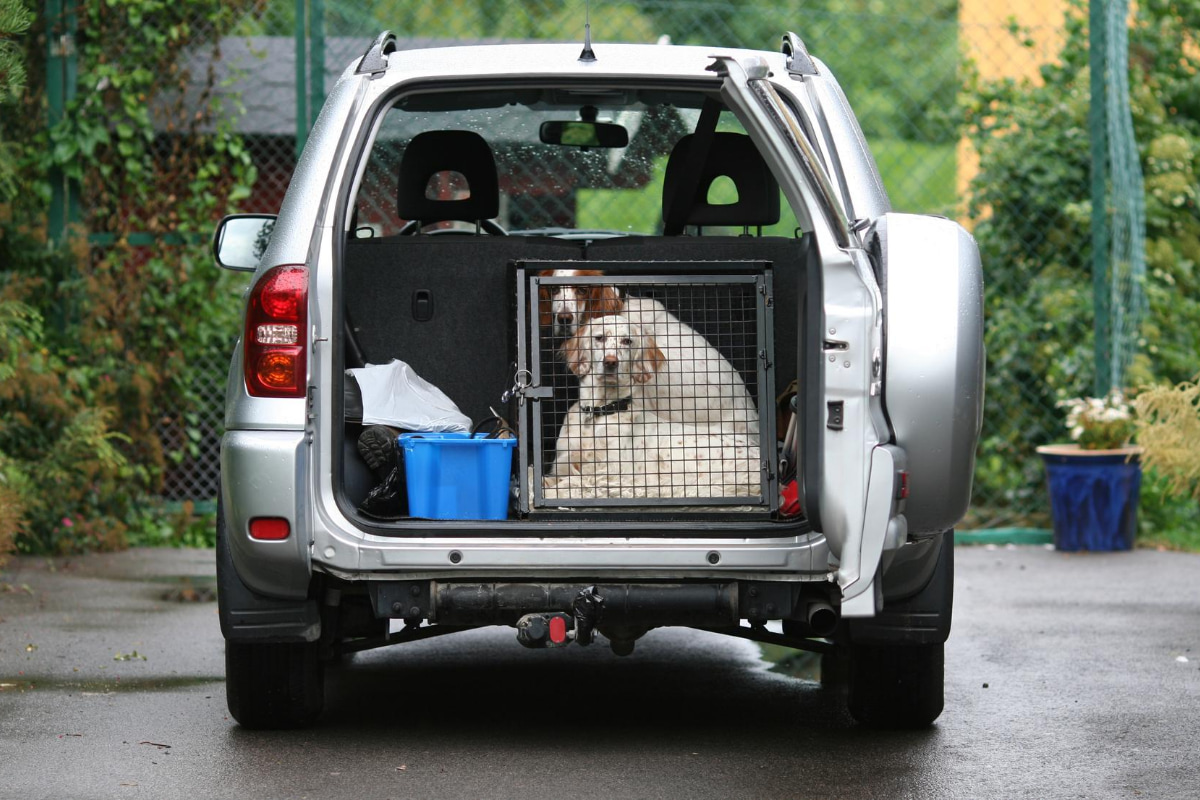 Irish setters in dog crate in SUV