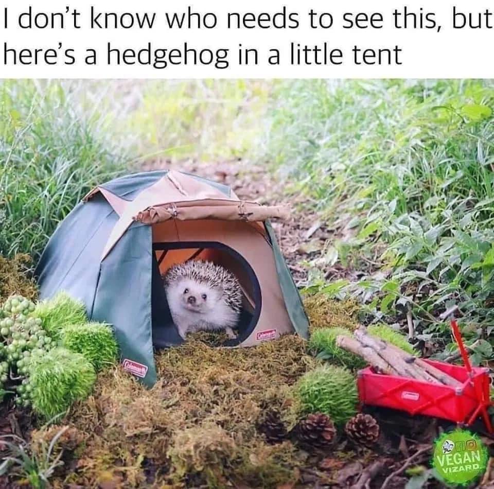 hedgehog in tent