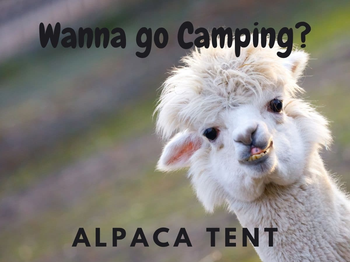 alpaca camping meme