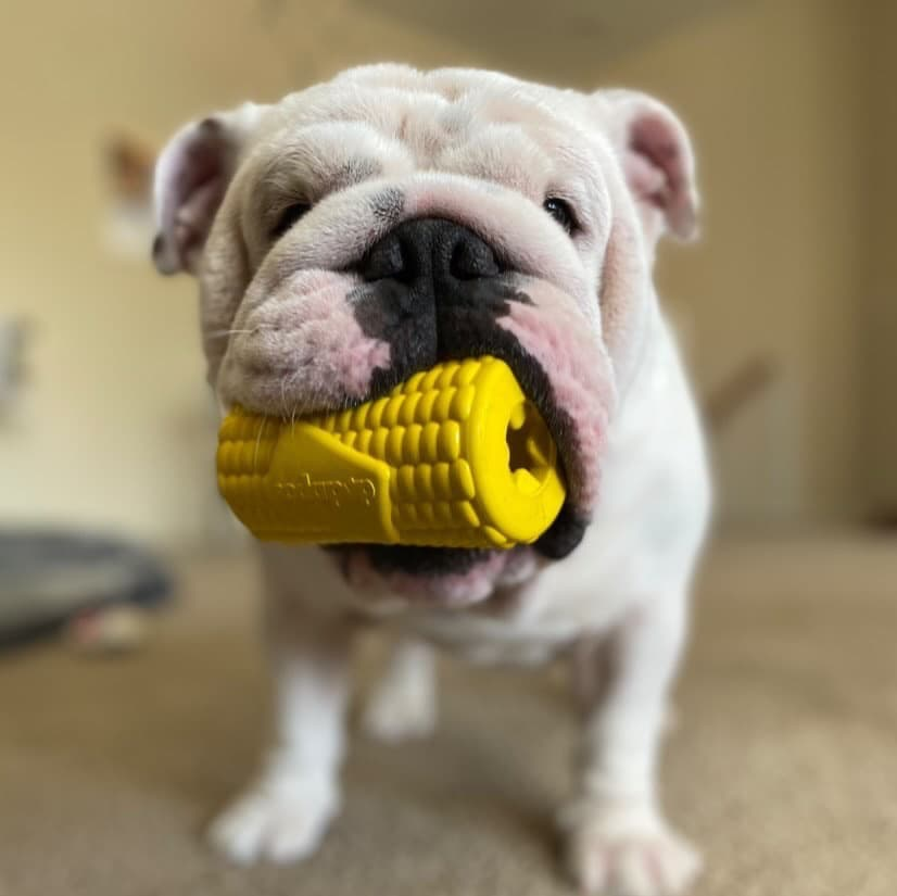 English bull dog puppy with toy in mouth
